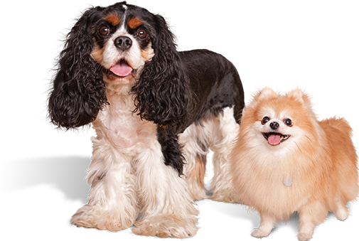 Two small breed dogs